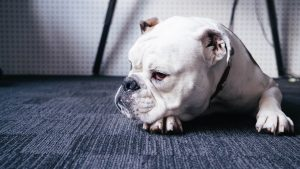 7 Tips for Removing Dog Urine Scent and Stains from the Carpet