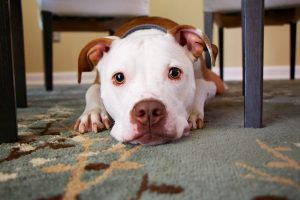 How to Keep Pets and also your Carpet Clean